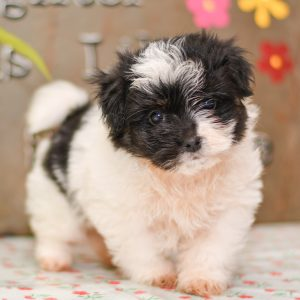 Beautiful Puppies at play. For sale havanese/maltese playful puppies of Ohio. Cute and cuddly playful havamalt pups for sale.