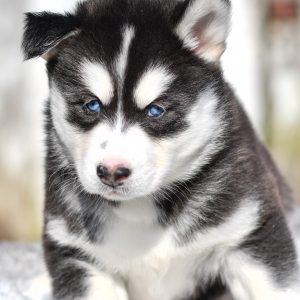 Beautiful Puppies at play. For sale siberian husky playful puppies of Ohio. Cute and cuddly playful siberian husky pups for sale.