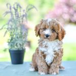Beautiful Puppies at play. For sale cavapoo playful puppies of Ohio. Cute and cuddly playful cavapoo pups for sale.