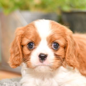 Beautiful Puppies at play. For sale cavalier playful puppies of Ohio. Cute and cuddly playful pups for sale. king charles cavalier
