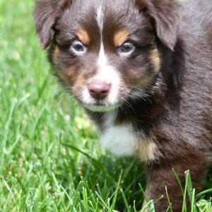 Beautiful Puppies at play. For sale australian shepherd playful puppies of Ohio. Cute and cuddly playful aussie pups for sale