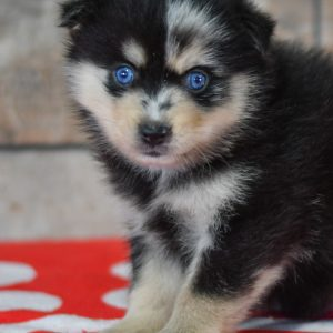 Beautiful Puppies at play. For sale Pomsky playful puppies of Ohio. Cute and cuddly playful Pomsky pups for sale