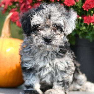 Adorable and cuddly Havapoo puppy for sale. Happy and healthy Havapoo puppy seeking adoption. Cute and playful Havapoo puppy for sale. Havapoo puppy available.