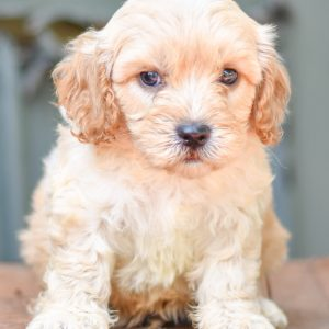Adorable and cuddly Cavapoo puppy for sale. Happy and healthy Cavapoo puppy seeking adoption. Cute and playful Cavapoo puppy for sale. Cavapoo puppy available.