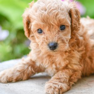 Adorable and cuddly Cavapoo puppies for sale. Happy and healthy Cavapoo puppies seeking adoption. Cute and playful Cavapoo puppies for sale. Cavapoo puppies available.