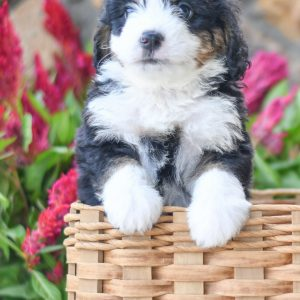 Adorable and cuddly Mini Bernedoodle puppy for sale. Happy and healthy Mini Bernedoodle puppy seeking adoption. Cute and playful Mini Bernedoodle puppy for sale. Mini Bernedoodle puppy available.