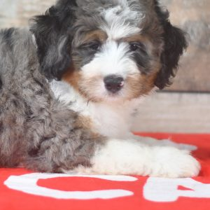 Adorable and cuddly Mini Bernedoodle puppies for sale. Happy and healthy puppies seeking adoption. Cute and playful puppies for sale. Puppies available.