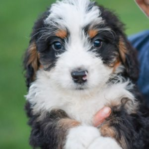 Beautiful mini Bernedoodle playful puppies of Ohio. Cute and cuddly playful Bernedoodle pups for sale