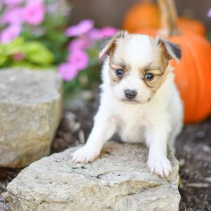 Beautiful papillon playful puppies of Ohio. Cute and cuddly playful papillon pups for sale