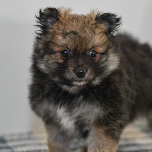 Cute and cuddly Pomeranian pup for sale. pomeranian pup in need of loving home and adoption in northeast Ohio. Fun and adventurous Pomeranian pup