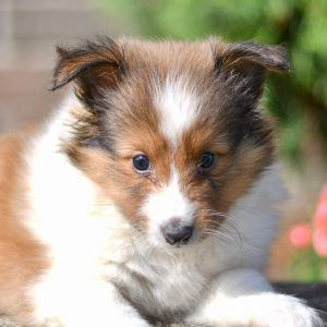 Cute and cuddly sheltie pup for sale. sheltie pup in need of loving home and adoption in northeast Ohio. Fun and adventurous sheltie pup